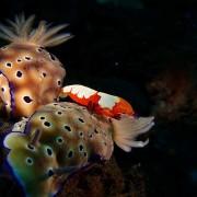 Nudibranchs-&-Emperor-shrimp thumbnail