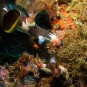 Nudibranchs-mating-liberty-wreck-night-dive thumbnail