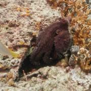 Octopus in Bat Cave, Menjangan Marine Park thumbnail