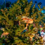 Orange Bluespotted fish in seaweed in Deep Blue, Bali thumbnail