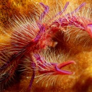 Pink-Hairy-Squat-Lobster thumbnail