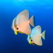 Platax-commonly-know-as-Batfish thumbnail