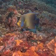 Pomacanthus Semicirculatus, Semicircle Angelfish in Manta Bay, Nusa Lembongan, Penida thumbnail