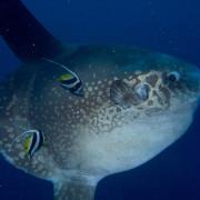 Portrait of giant Sunfish in Nusa Lembongan thumbnail