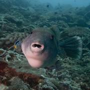 Pufferfish thumbnail