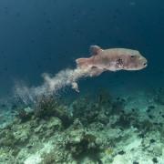Pufferfish in Cave Point, Menjangan Marine Park thumbnail