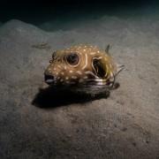 Pufferfish in Pemuteran Bay, Menjangan thumbnail