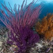 Purple Soft Coral in Eels Garden, Menjangan Marine Park thumbnail