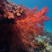 Red coral in Menjangan Marine Park thumbnail