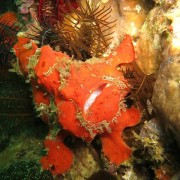 Red Frogfish in Amed, Bali thumbnail