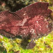 Red Leaf Scorpionfish in Tulamben, Bali thumbnail