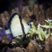 Reticulated Damselfish, two-stripe Damselfish in Mangrove, Nusa Lembongan thumbnail