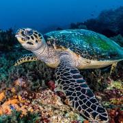 Safari-Dive-Concepts-Bali-Turtle thumbnail