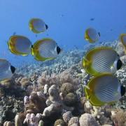 School-of-Philippine-butterflyfish thumbnail