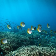 School of Philippine Butterflyfish in SD, Nusa Lembongan thumbnail