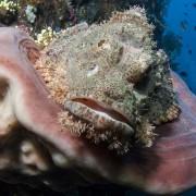 Scorpionfish thumbnail