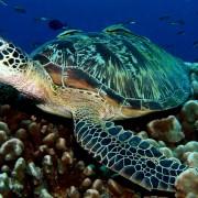 Sea Turte in Bat Cave dive site, Menjangan Marine Park thumbnail
