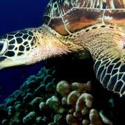 Sea Turtle Close up in Karang Sari, Nusa Penida thumbnail