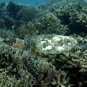 Sea Turtle in Buyuk dive site, Nusa Penida thumbnail