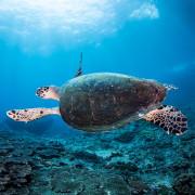 Sea Turtle in Deep Blue, Amed, Bali thumbnail