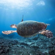 Sea Turtle in Jemeluk Bay, Amed, Bali thumbnail
