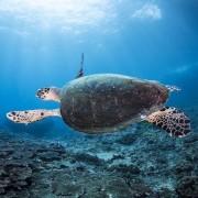 Sea Turtle in Lipah Bay, Amed, Bali thumbnail