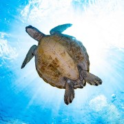 Sea Turtle in Nusa Penida thumbnail