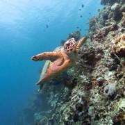 Sea Turtle in POS 2, Menjangan Marine Park thumbnail