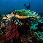 Sea Turtle in SD, Nusa Lembongan thumbnail