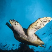 Sea Turtle on the USAT Liberty Shipwreck in Tulamben, Bali thumbnail
