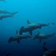 Shoals-of-Hammerhead-sharks-in-Banda-with-Dive-Concepts thumbnail