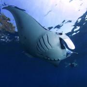 Snorkeling with Manta Rays in Nusa Penida thumbnail