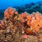 Soft corals in Bali Manta Point, Nusa Lembongan thumbnail
