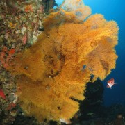 Soft Corals in Jemeluk Bay, Amed, Bali thumbnail