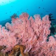 Soft Corals in Pura PED, Nusa Penida thumbnail