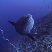 Sunfish thumbnail