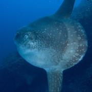 Sunfish in Nusa Lembongan, Bali thumbnail