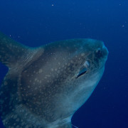 Sunfish in Nusa Lembongan thumbnail
