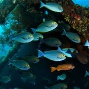 Surgeon-fish-Liberty-Wreck-Tulamben-Dive-Concepts-Bali thumbnail