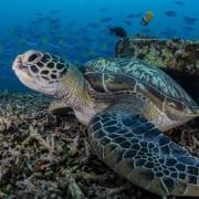 Turtle close up and marine life diversity in Menjangan Marine Park thumbnail