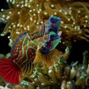 Two Mandarin Fishes in Anemone, Menjangan Marine Park, Bali thumbnail