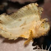 White Leaf Scorpionfish thumbnail