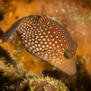 Whitespotted Toby in Crystal Bay, Nusa Lembongan thumbnail