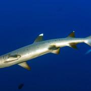 Whitetip shark in Amed, Bali thumbnail