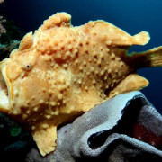 Yellow Frogfish mouth open on Hard Coral in Amed, Bali thumbnail