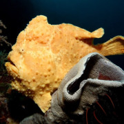 Yellow Frogfish on Hard Coral in Amed, Bali thumbnail