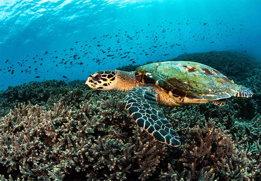 Hawksbill Turtle in Menjangan Marine Park