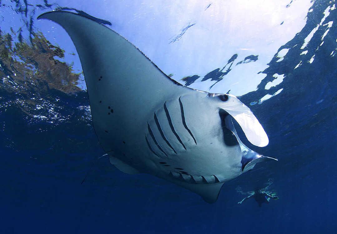 Snorkeling in Nusa Lembongan with Manta Rays