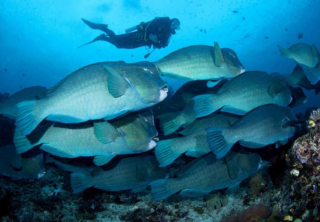 School of Humphead Parrotfish on the Liberty