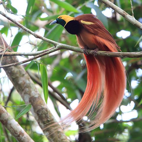 A Treasure in Raja Ampat The Bird of Paradise